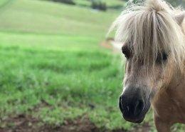 Horses/Ponies - Dallas2 image