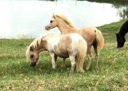 Horses/Ponies 87